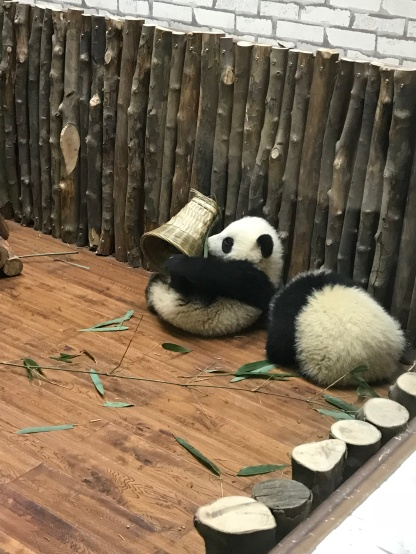 Baby pandas playing and sleeping in the nursery