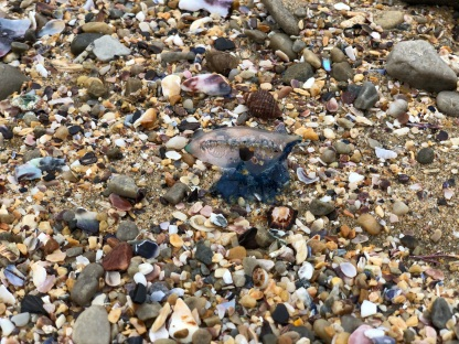 Beached Jellyfish